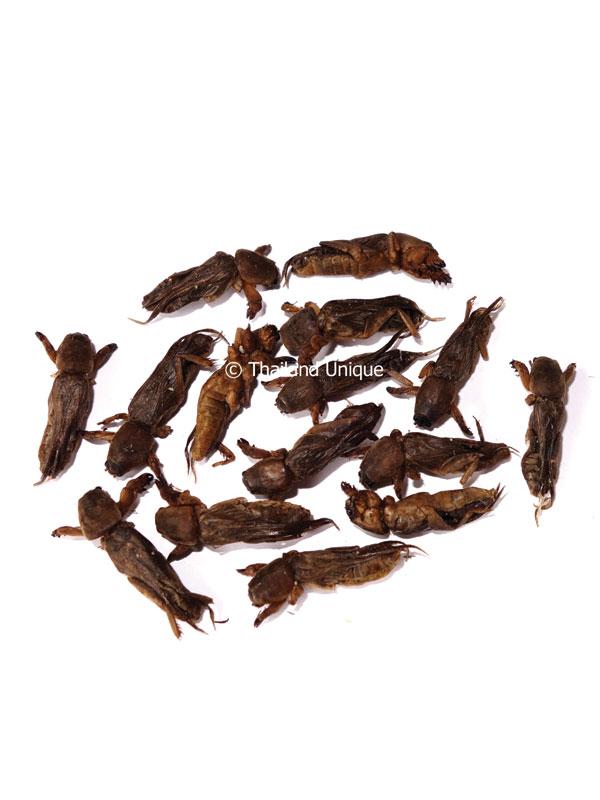 Edible Mole Crickets - Gryllotalpidae