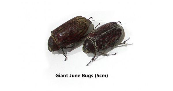 Giant edible june bugs for Giant chilli thai