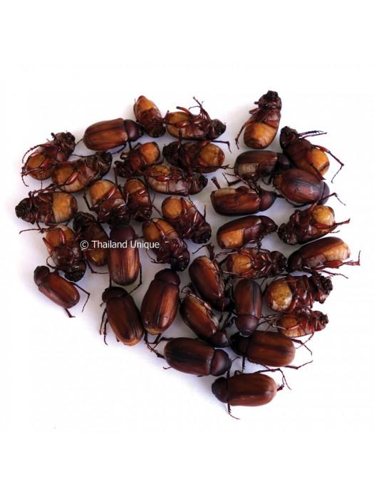 Dehydrated June Beetles