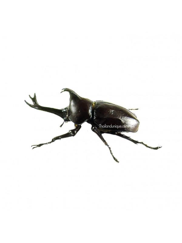 Edible Male Rhino Beetles