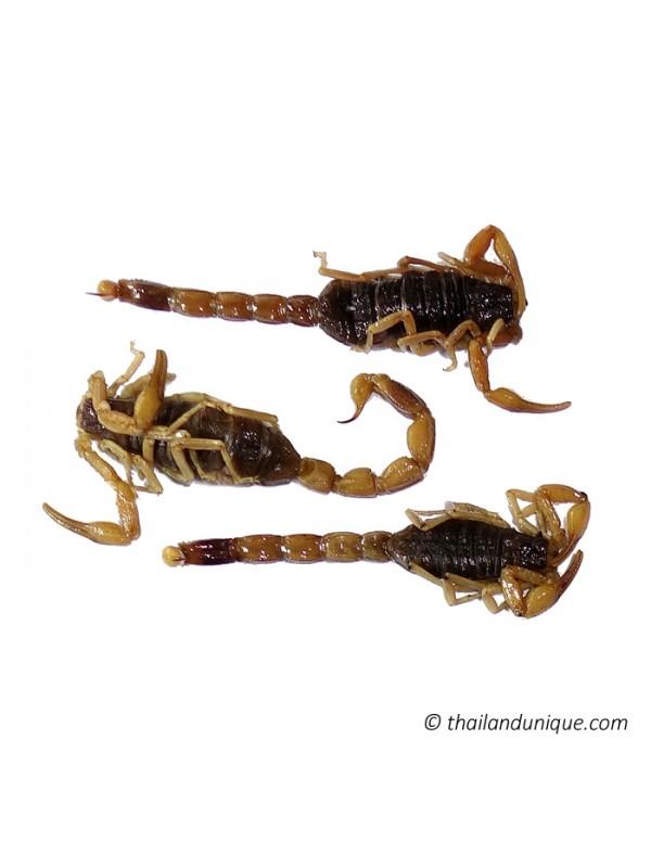 Preserved Scorpions x 25