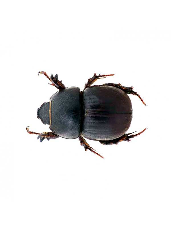 Female Rino Beetles - Hyboschema Contractum