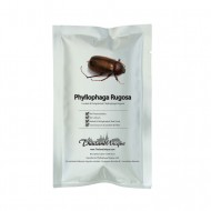 Edible Phyllophaga Rugosa Beetles