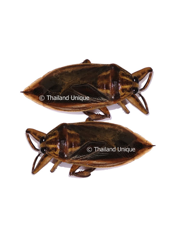 Edible Giant Water Scorpions