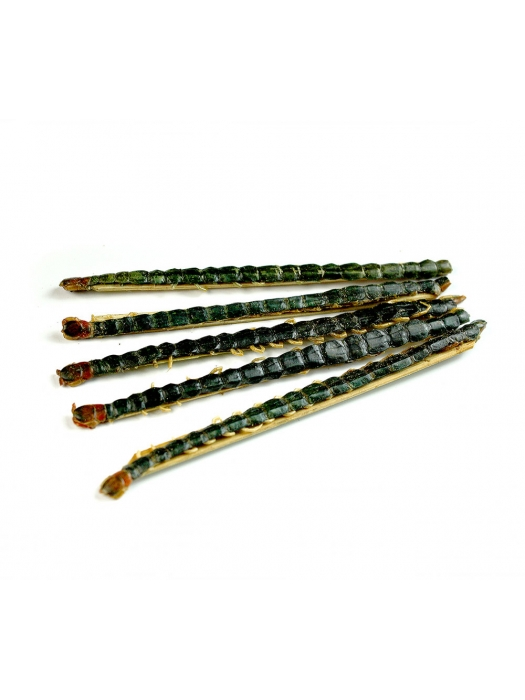 Chinese Red Headed Centipedes
