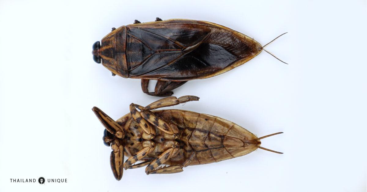edible giant waterbug
