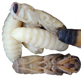 Honey Roasted Giant Hornet Larvae