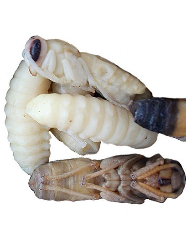 Honey Roasted Giant Hornet Larvae