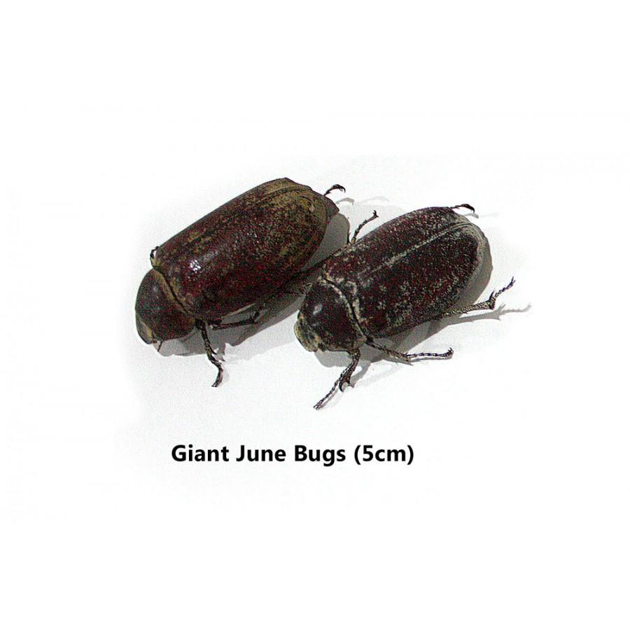 Giant Edible June Bugs