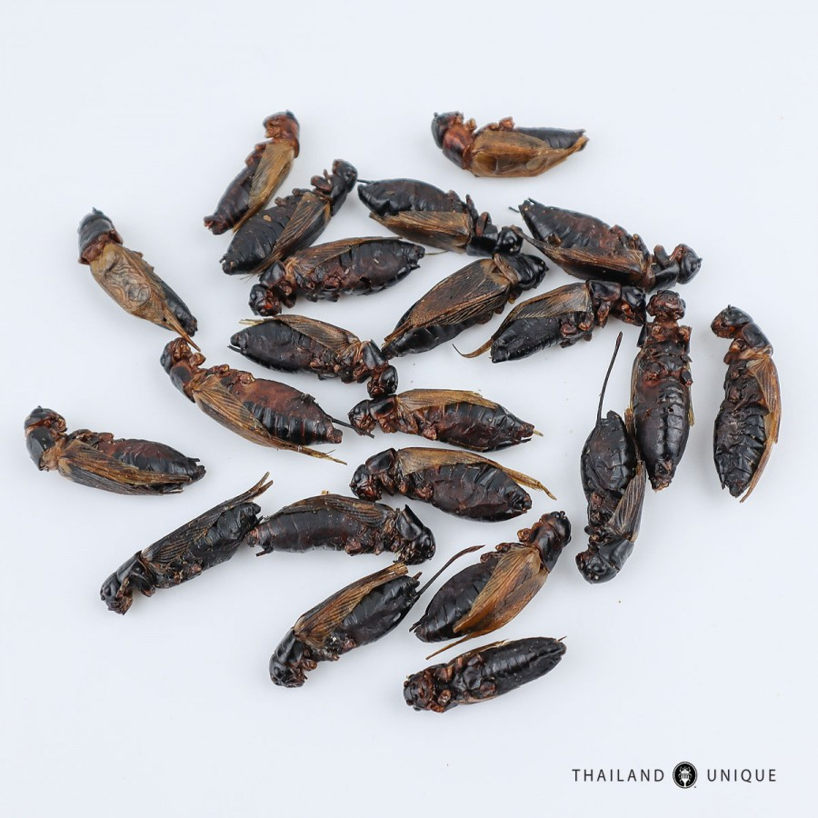 Wholesale Black Field Crickets