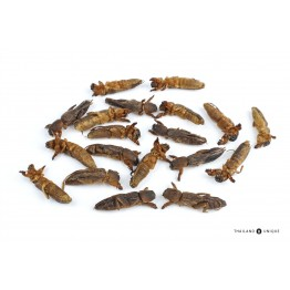 Edible Mole Crickets - Gryllotalpidae