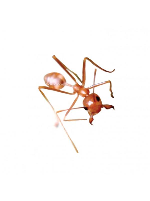 Edible Weaver Ants - Genus Oecophylla