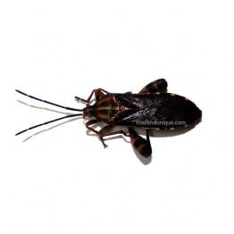 Edible Squash Bugs - Mictis Caja
