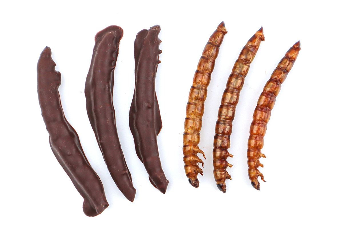 chocolate covered superworms
