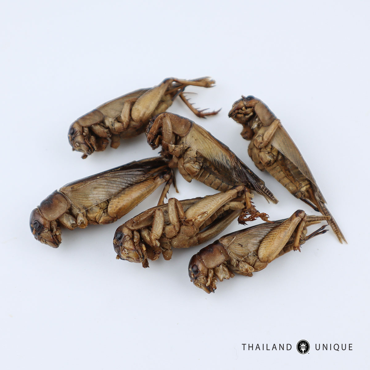 edible giant crickets